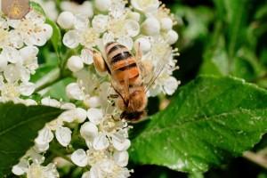 Bienen005