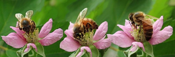 bees-4003580_1280